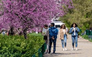 Удивительное зрелище: в волгоградском ЦПКиО цветет Иудино дерево